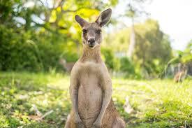 Kangaroo meat food