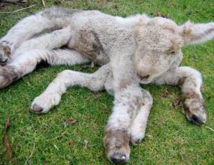 poor goat 7 legs