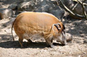 wild boar food